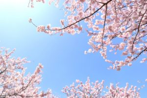 第2回魔女会:桜見散策